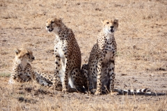 Lepardi a caccia